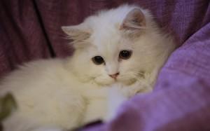 温顺可爱猫咪图片壁纸