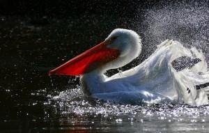 水中嬉戲的可愛鵜鶘