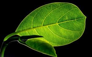 高清护眼绿叶图片桌面壁纸