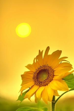 向日葵心的方向
