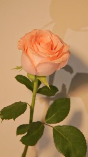 粉色花朵娇艳手机壁纸