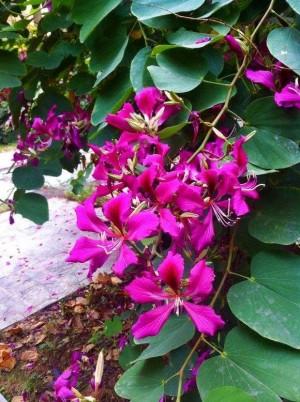 红花羊蹄甲植物图片