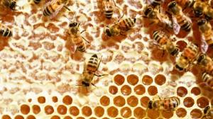 高清养眼蜜蜂图片