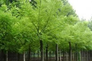 国槐—大暑代表性植物图片