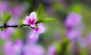 春天里盛开的桃花