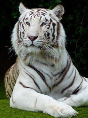 威武的孟加拉白虎图片