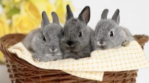 毛茸可愛的小兔子桌面壁紙