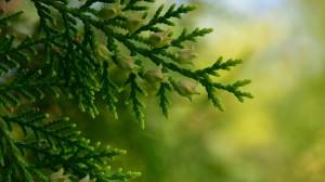 清新绿色的柏树树枝