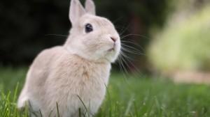 温顺可爱小兔子图片壁纸