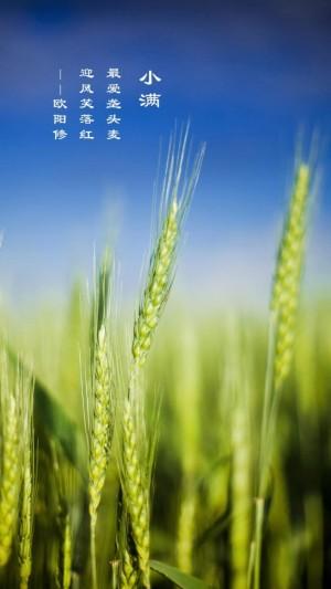 小满节气麦穗图片