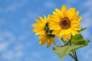 向日葵向着太阳