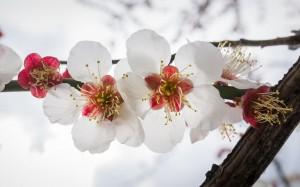 春天到來,賞櫻時節