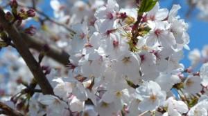 迷人白色樱花图片
