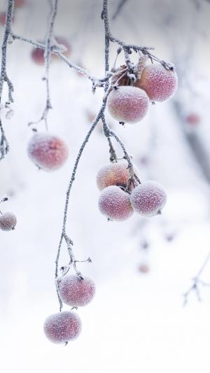 霜降之结霜的柿子