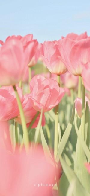 超美郁金香花朵手机壁纸