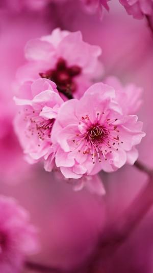 粉色唯美的美人梅手机壁纸