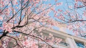 唯美浪漫樱花美景图片壁纸