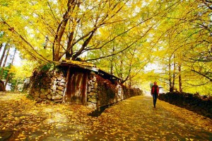 秋天的银杏村