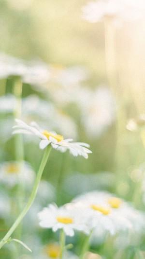 清新唯美雏菊图片手机壁纸