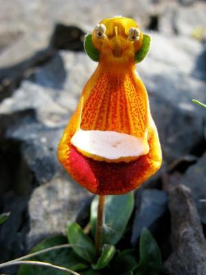 快乐外星人达尔文蒲包花