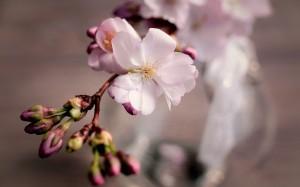 满树灿烂的樱花