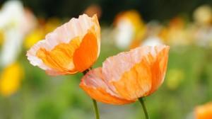 小清新鲜艳花卉图片桌面壁纸