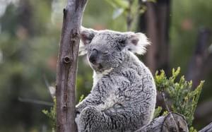 澳大利亚超萌的国宝考拉