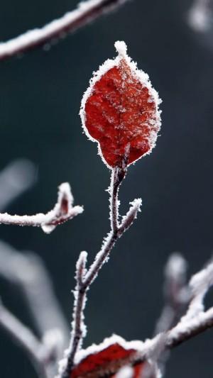 霜降之结霜的树叶