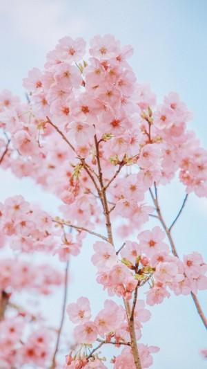 唯美樱花摄影手机壁纸