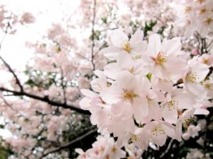 日本白樱花图片