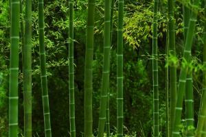 唯美的绿竹林摄影图片