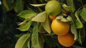 树上果实累累的桔子图片