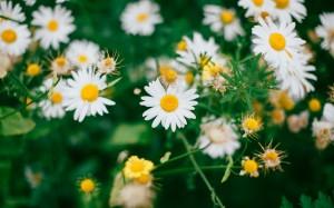 清新可爱白色雏菊图片桌面壁纸