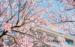 2020年1月唯美浪漫樱花日历图片壁纸