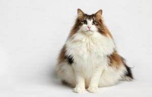 超重的挪威森林猫