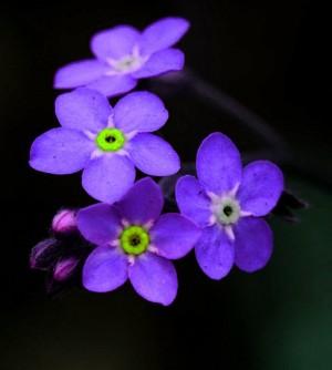 紫色花勿忘我