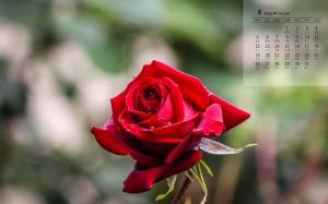 2019年8月艳丽红玫瑰图片日历壁纸