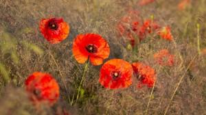 高清唯美的罂粟花图片