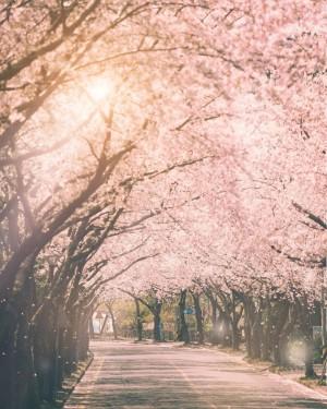 我遇见的每一个春天 都有樱花