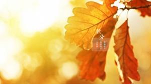 秋分枫叶美