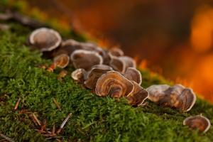 蘑菇 苔藓 树菌 图片