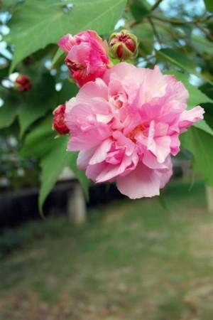 木芙蓉植物图片