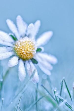 冰冻植物的唯美手机壁纸