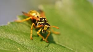 黄蜂高清特写壁纸