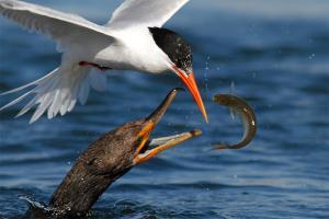 摄影师拍摄的鸟类捕猎的镜头
