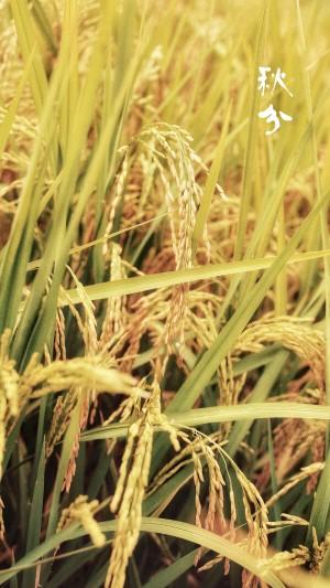 秋分之稻田