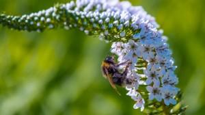 勤劳采蜜的蜜蜂