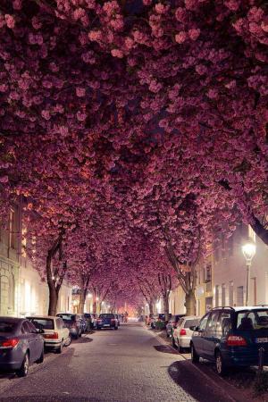 德国波恩著名的樱花大道