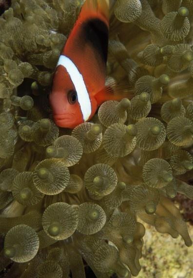 小丑鱼和海葵图片