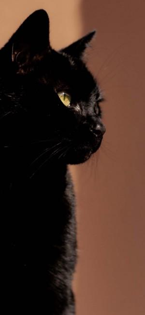 黑色猫咪萌系高清摄影手机壁纸